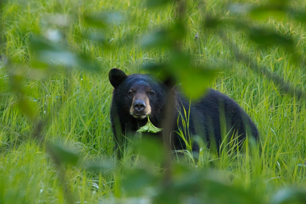 Black Bear peak a boo by Alaska Photography Co..jpg