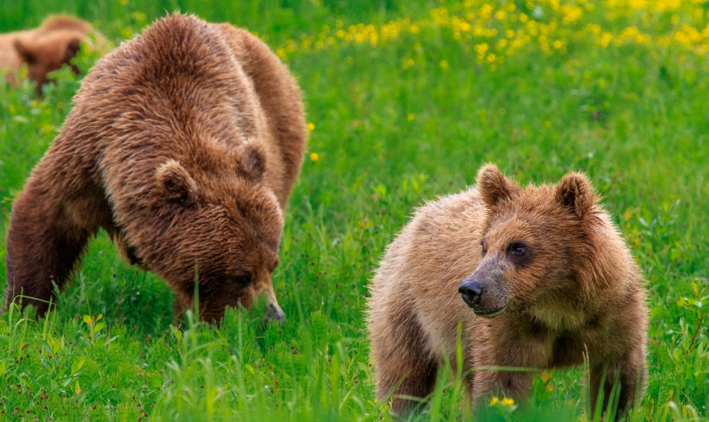 brown-bear-cub-green-grass-edited-alaska-photo-co-see-if-works-on-front-cover
