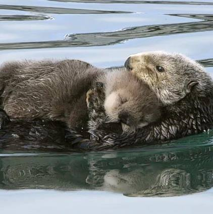 sea-otter-and-baby